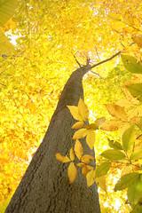 (Jai Agnish) Tags: autumn tree fall leaves yellow topv111 forest golden newjersey woods topv555 topv333 bravo topv444 topv222 topv777 backlit topv666 topv888 westmilford