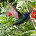 Beija-flor Tesoura (Eupetomena macroura) - Swallow-tailed Hummingbird 1988 - 5