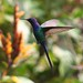 Beija-flor Tesoura (Eupetomena macroura) - Swallow-tailed Hummingbird 020 - 6