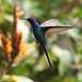 Beija-flor Tesoura (Eupetomena macroura) - Swallow-tailed Hummingbird 020 - 6