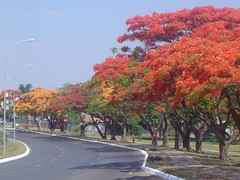 Flamboyants (Delonix regia) - Royal Poincianas, Gulmohar, Flamboyant Tree, Peacock Flower 048 (Flávio Cruvinel Brandão) Tags: flowers trees red brazil plants naturaleza flores flower tree planta nature yellow brasília brasil out ilovenature arbol plantas natureza flor royal urbannature rua Árvore delonixregia ornamental flamboyant brasilia ruas Árvores poinciana iloveit Árbol gulmohar flamboyanttree flamboyants royalpoinciana guará arból ph100 peacockflower flamboyantvermelho brasíliadf ornamentais océudebrasília ph1001987brasilia ph1001987 flamboyantamarelo favoritegarden royalpoincianas