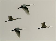 Elegance (ESOX LUCIUS) Tags: me birds ilovenature taco spoonbill lepelaar platalealeucorodia interestingnessfeb21344