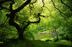 Japanese Maple, Spring (Zeb Andrews) Tags: color green film beautiful gardens oregon 35mm wow wonderful portland lovely1 awesome great slide pacificnorthwest nikonfm2 fujivelvia50 iloveit explore21feb2006 specland bluemooncamera zebandrews zebandrewsphotography