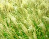 Whisper (Many Muses) Tags: green whisper manymuses grasses ilikegrass
