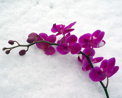 A blossoming in the snows (cattycamehome) Tags: pink winter white snow orchid flower macro tag3 taggedout bravo tag2 all tag1 blossom  rights blossoming reserved catty catherineingram photophilosophy cattycamehome allrightsreserved