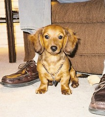 Heidi as a young young pup (Doxieone) Tags: dog puppy dachshund h 100views 100 aa ourdogs cmcaug06