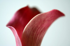 Edges (Aeioux) Tags: uk flower macro topv111 tag3 taggedout birmingham tag2 tag1 lily calla aeioux 75points aeiouxbirminghamuk