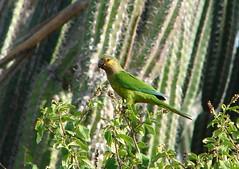 Aruba Parakeet