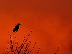 King of the Crows at sunrise