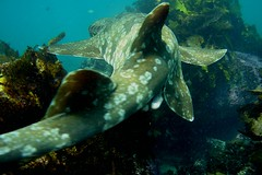 The grace of a Wobbegong shark (Dermal Denticles) Tags: ocean sea water shark underwater tail manly sydney australia shellybeach wobbegong dermaldenticles