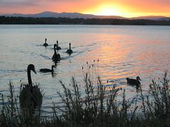 Sunset at Lake Burley Griffin, Canberra (bluecolander) Tags: sunset summer lake water birds landscape duck swan tranquility australia swans canberra agnes lovely bluecolander agneschen
