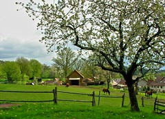 I have a green dream! (Linda6769) Tags: horse tree grass animal barn fence germany cherry wooden spring village blossom may thuringia dandelion explore pasture woodenfence zaun blte pferd blooming bloomingtree hildburghausen blhend explored brden holzzaun blhenderbaum