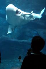 Beluga Greeting (jetrotz) Tags: ocean atlanta sea screensaver georgiaaquarium myfave