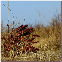SEASPURGE (ESOX LUCIUS) Tags: winter me ilovenature taco euphorbiaparalias seaspurge naturereservedekwadehoek zeewolfsmelk dünenwolfsmilch