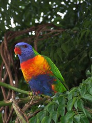 rainbow lorikeet (Vanessa Pike-Russell) Tags: bird birds interesting rainbow catchycolours vibrant pair lorikeet australia nsw mostinteresting popular fp parrots lorikeets avian wollongong myfaves illawarra pc2500 s5600 theworldthroughmyeyes lilcrabbygal vanessapr fppair colorsandcolors mootrade vanessapikerussellcom vanessapikerussell