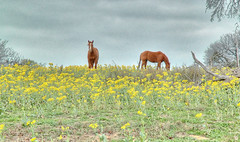 Horses in the Meadow (Jeff Clow) Tags: ilovenature bravo texas nikond70 quality wildflowers hdr photomatix fourfavs fourfavs2 fourfavs1 fourfavs3