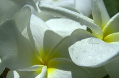 Sweet Raindrops (ONE/MILLION) Tags: flowers arizona plants white color love nature water yellow garden landscape botanical outdoors hawaii colorful plumeria blossoms drop kauai tropical poipu wildflowers blooms botanicalgarden