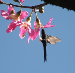 Beija-flor Tesoura (Eupetomena macroura) - Swallow-tailed Hummingbird 16 236 - 11 (Flvio Cruvinel Brando) Tags: flowers brazil sky naturaleza flores flower color bird nature colors birds animal animals braslia brasil cores out ilovenature flying colorful hummingbird lovely1 natureza flor flight passarinho pssaro aves cu ave urbannature brazilian hummingbirds pajaro fiori animais cor pssaros brasileiro beijaflor flvio tesoura brasileira feathery vo colibri colorida cus voando colorido coloridas picaflor cudebraslia swallowtailed beijaflortesoura colibris wildlifephotography birdsoftheworld featheryfriday birdphoto eupetomenamacroura beijaflores picaflores animaladdiction swallowtailedhummingbird brasliassky eupetomenamacrourus flviocruvinelbrando ocudebraslia fheatheryfriday eupetomena