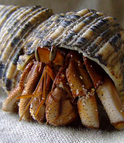 australian land hermit crab | Flickr - Photo Sharing!