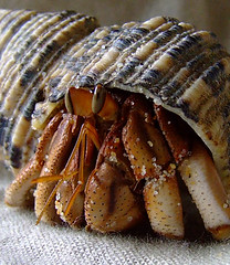 australian land hermit crab (Vanessa Pike-Russell) Tags: pet macro texture hermitcrabs nature closeup hermitcrab interesting catchycolours vibrant crab australia finepix nsw land mostinteresting seashell fujifilm top10 hermie popular crustacean upclose mop terrestrial hermit crabby mollusc wollongong myfaves illawarra hermies landhermitcrab 4aces coenobita alhc s5600 scoreme scoreme395 lilcrabbygal crabstreet crabbyphotos crabstreetjournal vanessapr mootrade vanessapikerussellcom vanessapikerussell vanessapikerussellbest