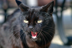 Angry Mommy (Finstr) Tags: nyc newyorkcity wild usa ny newyork animal brooklyn cat blackcat backyard fierce mommy mother evil whiskers kensington vicious feralcat feral hiss badluck