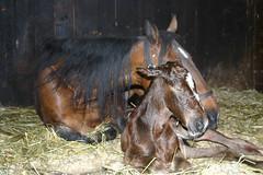 31 mars 06 (ecuriesdiabolo) Tags: horse cheval chevaux poulain pouliche