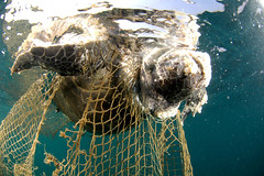 Turtleinnetdecomposing-SumerVerma-Greenpeace (Capitan Giona) Tags: sea india mare turtle greenpeace natura morte tartaruga