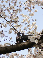 kiss... (-sou-) Tags: flower bird japan cherry tokyo pigeon cherryblossom sakura hanami kandagawa ohanami
