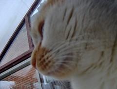 barney (Jules T!!) Tags: pet cats pets animal animals cat furry feline chat europa europe pussy kitty eu gatos 2006 gato katze barney pussycat europeanunion katz evropa gattini whiteandginger whiteandgingercat thenixonator
