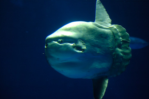 Mola-Mola  (Uglyfish) by BURИBLUE.