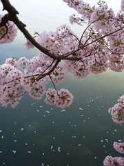 Water Blossoms (SimplySchmoopie) Tags: nyc pink flowers water reflections cherry washingtondc petals top20np spring blossoms bloom cherryblossoms springtime pinkflowers simplyschmoopie