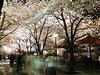 light Up last Nite (chizuru-bis) Tags: sakura gion shirakawa