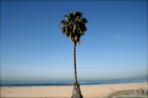 palm tree, Santa Monica, CA