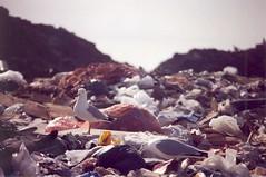 The domain (jaymequack) Tags: bird canon garbage ae1 wildlife seagull gull dump pollution urbannature waste landfill