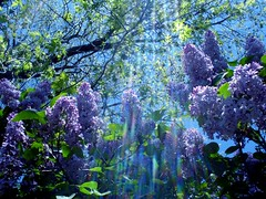 Heaven Scent (suesue2) Tags: flowers blue wallpaper sunlight spring bravo purple michigan quality creamofthecrop lilacs iloveit stuckincustomsbrilliantcabal bestofspring