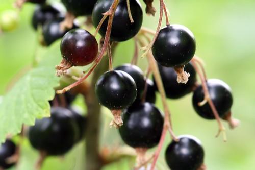 Ягоды чёрной смородины являются чрезвычайно полезными потому, что в ней содержится настолько много. витамина.