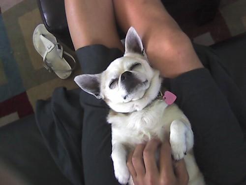 Peso sleeping on my leg as I watch tv