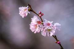 Cherry Winter (PhillymanPete) Tags: flower cherryblossom pink macro winter serene nature nikon d7200 bokeh