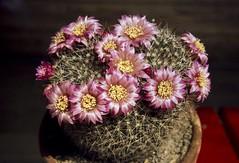 Mammillaria zeilmanniana spec. Kirchheim Juli 1978 (Martin Theodor) Tags: mammillaria zeilmanniana spec