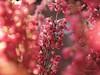 Erika's Flowers ... (MargoLuc) Tags: macromondays theme itsalive macro monday little erika flowers pink bokeh