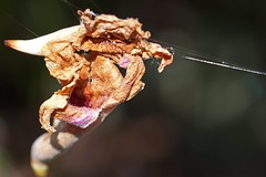 hung out to dry (Leonard J Matthews) Tags: dry less nature environment creation mythoto australia flora web hung hanging
