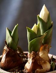 Pot of Tulips (Kirsten M Lentoft) Tags: white flower spring dof pot tulip flowerpot onion momse2600 kirstenmlentoft