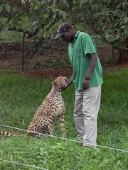 Cheetah (http://jvverde.birdsby.me/v2/) Tags: travel kenya safari viajes lixo viagens vacations hollidays qunia lixo2