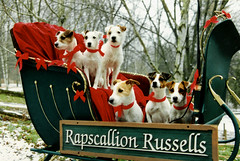 Rapscallion Christmas 1997 (Mark Sanders) Tags: rapscallion christmas jackrussell jackrussellterrier dog dogs terrier jake sadie josie tye sassy frannie