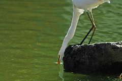 morning glory... great egret *ardea alba* from Bali ♫♫ (bocavermelha-l.b.) Tags: d70s aves prey garça greategret egrettaalba 80200mmf28d casmerodiusalbus tc14e inbali ardeaalbaegretta kuntulputihbesar garçabrancagrande foundinnusadua south–china–sea inindonesia wildlifebali
