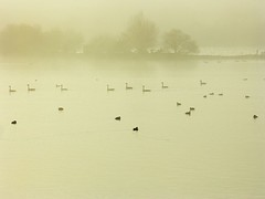 follow my leader (algo) Tags: mist water misty fog photography geese topf50 topv555 searchthebest topv1111 topv999 ducks paleness waterfowl algo weeklysurvivor halton 50f500v weeklyblog25