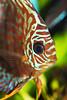 Leopard Discus (Belltown) Tags: 15fav closeup aquarium tropicalfish discus cichlid cichlidae symphysodon explore17dec05 interestingness325 i500 photodomino221