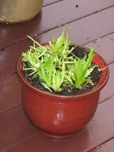lettuce upclose