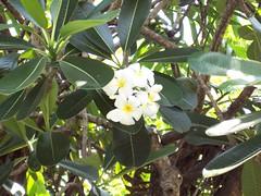 Araliya (Anjz) Tags: lanka araliya frangipani flower white green bestof anjula favorite favourite