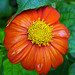 orange-flower-green-backgro